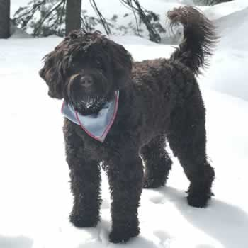 Scout the Labradoodle - Ruff Mudder